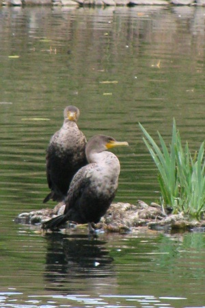 Ducks4 (2)